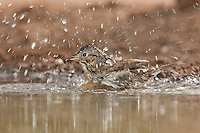 578820043 a wild lincoln's sparrow melospiza lincolnii bathes in a small waterhole on santa clara ranch hidalgo county rio grande valley texas united states