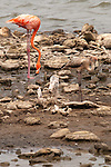 Flamingo and it's chick feed in Bonaire, NA.