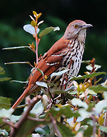 Brown thrasher adult