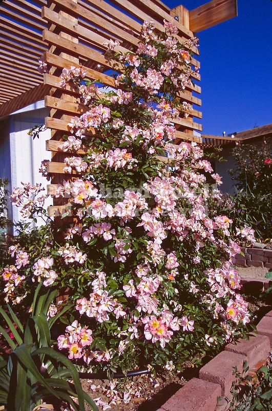 14833-CG Pink Mermaid Rose, Climber on trellis, Rosa hybrid