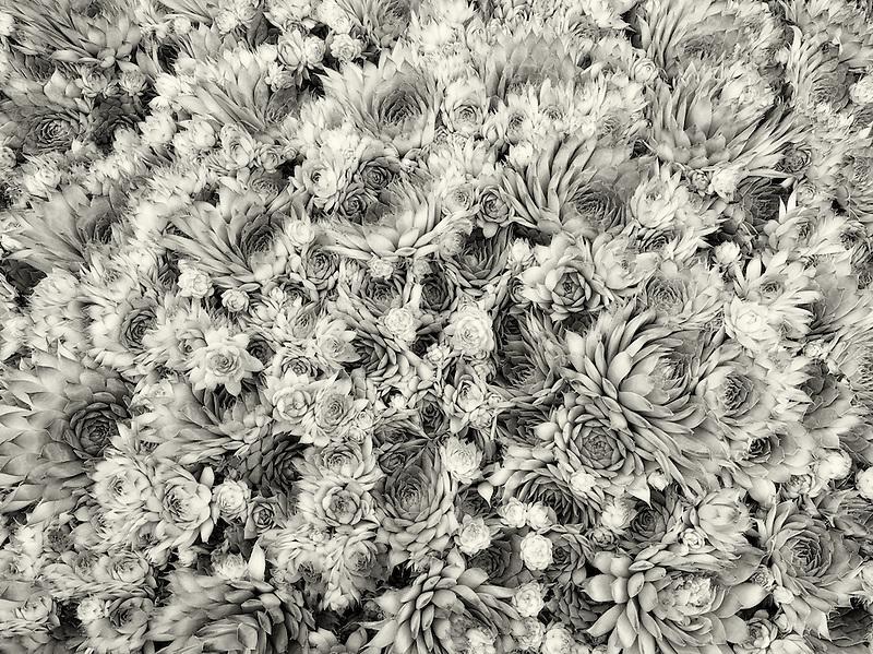 Close up of rock garden succulents. Semperivum 'kalinda'