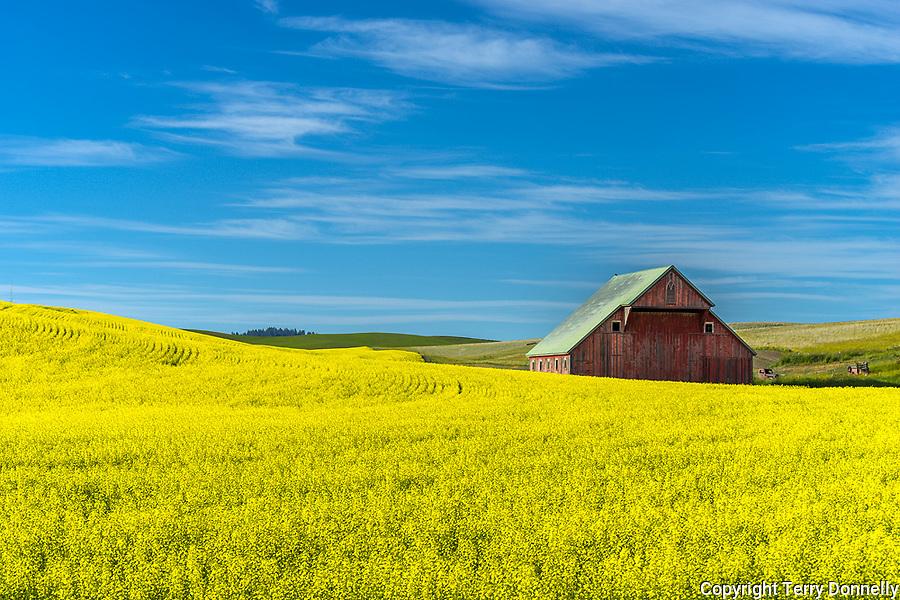 Latah County, Palouse Region, Idaho:<br /> Weathered red  barn amid yellow canola fileds