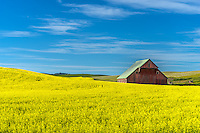 Latah County, Palouse Region, Idaho:<br /> Weathered red  barn amid yellow canola fileds