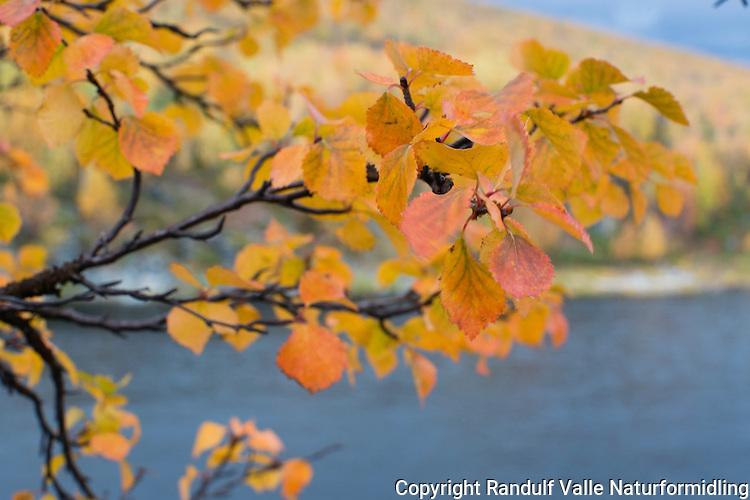Høstfarger. ---- Fall colours.
