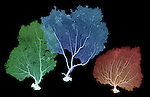 X-ray image of three sea fans (green blue red on black) by Jim Wehtje, specialist in x-ray art and design images.