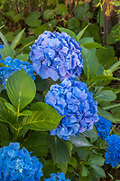 Mophead Hydrangea macrophylla - 'Endless Summer' blue flowering shrub in Yanker-Hansen garden