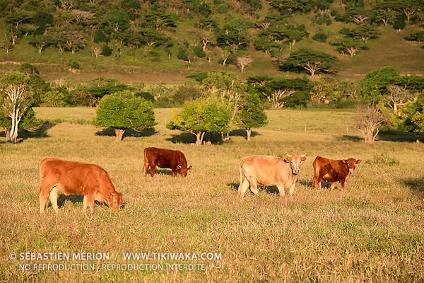 Elevage de bétail, côte ouest Nouvelle-Calédonie