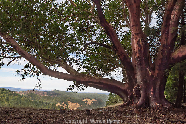 A stately madrone sit on the ridge looking out to the Pacific Ocean and the California coast and the hills.