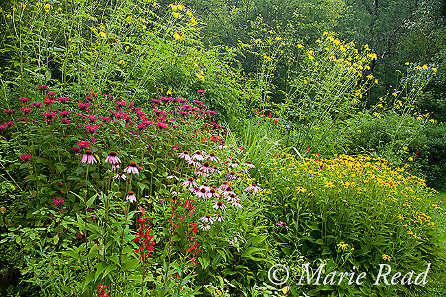 Garden containing flowering plants, native to Northeast USA, for wildlife, including Cardinal Flower, Green-headed (=Cutleaf) Coneflower, Jewelweed, Black-eyed Susan, Purple Coneflower, New York, USA