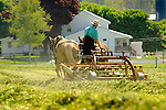 Nippenose Valley. Amishman. Young Levi Stolfus rowing spring ryegrass cutting. Two team belgian horses.