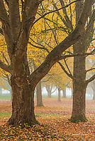 Sugar maple trees in morning mist