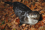 River otter, Lontra canadensis