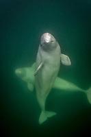 beluga whale, Delphinapterus leucas, Churchill River, Manitoba, Canada, Arctic Ocean