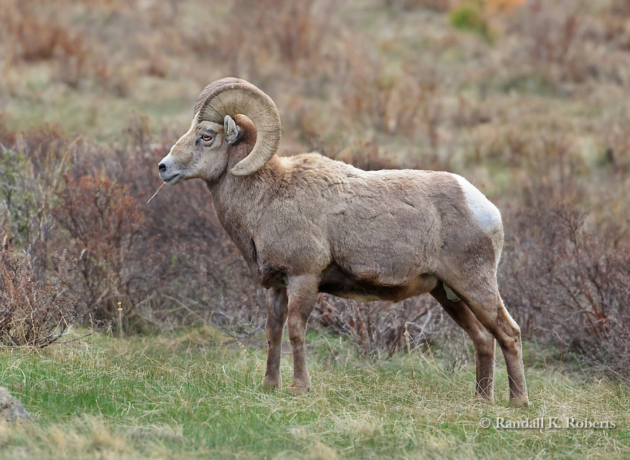 A bighorn sheep ram (Ovis canadensis), strikes a pose near Sheep Lakes in Rocky Mountain National Park, Colorado