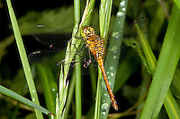 Blutrote Heidelibelle, Blutrote-Heidelibelle, Weibchen, Sympetrum sanguineum, ruddy sympetrum, Ruddy Darter, female