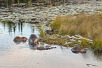 Four North American Beaver (Castor canadensis) at communal feeding area along edge of pond.  Northern Rockies,  Fall.  Beaver often have a regular (usually several) feeding area within their home territory where they will bring small limbs to feed on.  Note: the second  beaver from the left is an adult while the other three are young ones born earlier in the year (probably four to five months old).