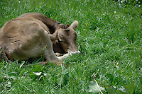 Calf sleeping in meadow. Imst, Austria.