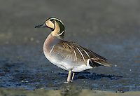 Baikal Teal - Anas formosa - Male