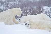 01874-13212 Polar Bears (Ursus maritimus) during snowstorm Churchill Wildlife Management Area, Churchill, MB