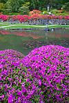 Seattle, WA<br /> Evergreen azaleas blooming in the Japanese garden in the Washington Park Arboretum