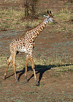 Baby giraffe in South Luangwa Valley, Zambia Africa.