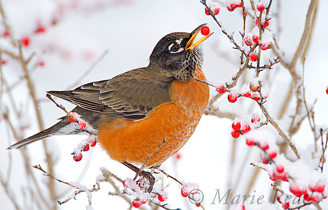 American Robin (Turdus migratorius) male feeding on snow-covered winterberry, New York, USA