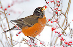 BLUEBIRDS, THRUSHES, ROBIN
