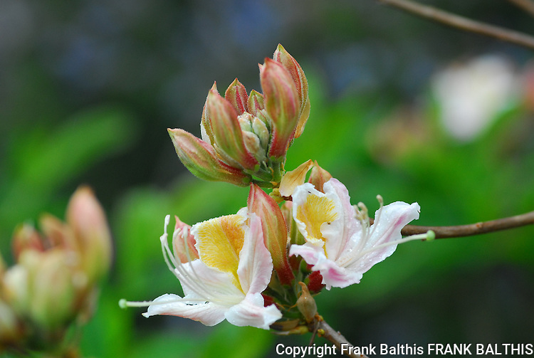 Wild azalea blooming in the Bonny Doon Ecological Reserve