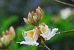 Wild azalea blooming in the Bonny Doon Ecological Reserve