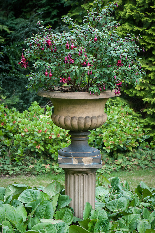 Fuchsia in decorative urn, mid August, Great Comp, Kent.