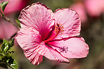 Valley Center, San Diego, California; pink hibiscus flowers in afternoon sunlight