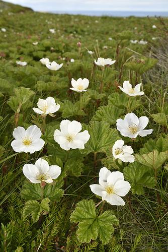 Cloudberry - Rubus chamaemorus