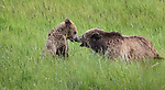 Grizzly bear sow and cub  in Yellowstone National Park