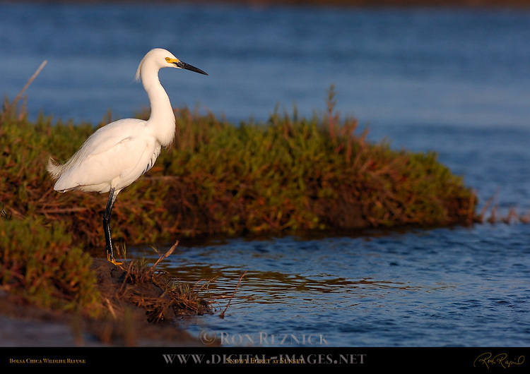 Snowy Egret at Sunset Bolsa Chica Wildlife Refuge Southern California