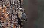Pygmy Nuthatch (Sitta pygmaea), North America.