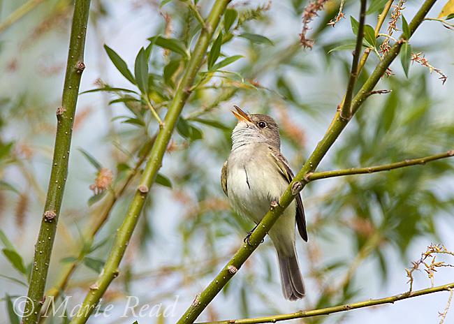 Willow Flycatcher (Empidonax traillii), perched in willow, calling, Montezuma National Wildlife Refuge, New York, USA