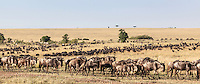 Long line stretching into the distance of blue wildebeest migrating to new pastures walking through savanna plains in the Masai Mara National Reserve, Kenya, Africa (photo by Wildlife Photographer Matt Considine)