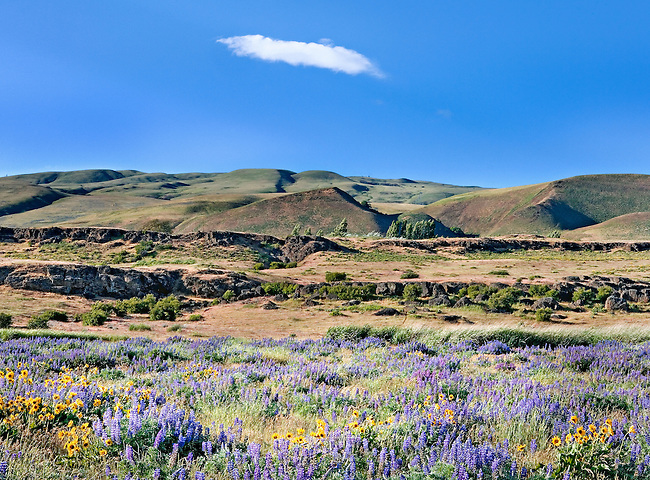 Blooming Lupines and Balsom Root in the Columbia River Gorge, Washington State