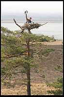 BNPS.co.uk (01202 558833)<br /> Pic: PhilYeomans/BNPS<br /> <br /> 2010 - A previous attempt to tempt migrating birds to nest around the harbour included an Osprey nest, complete with plastic birds.<br /> <br /> Conservationists have placed eight osprey chicks into a harbour setting in a bid to re-colonise the endangered bird of prey to southern England.<br /> <br /> The young birds have been taken from nests in northern Scotland, where there are now sustainable populations of them, and transported 500 miles south to Poole Harbour in Dorset.<br /> <br /> They will live in pens until to can fly and explore the harbour which has a rich diet of fish for them.<br /> <br /> It is expected they will remain on the south coast for five weeks before they begin their long migration to West Africa where they overwinter.<br /> <br /> Experts hope that when the young ospreys return from Africa to the UK next spring they won't think about flying north and will stop in Poole.
