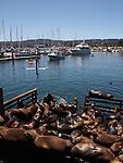 CA sea lions in Monterey