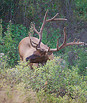 a bull elk feeding on leaves in montana