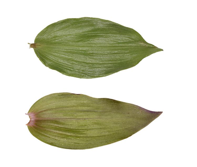 Violet helleborine - Epipactis purpurata - leaf<br /> top - upperside<br /> bottom - underside