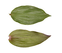 Violet helleborine - Epipactis purpurata - leaf<br /> top - upperside<br /> bottom - underside