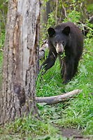 Black Bear walking through the forest