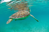 Green Sea Turtle (Chelonia mydas)<br />