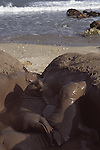 mud bath for elephant seal weaners at Ano Nuevo State Park