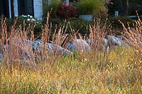 Little Bluestem grass (Schizachyrium scoparium) in reddish fall color in midwest meadow garden