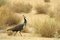 Wild Peacock in the Thar Desert, near Jaisalmer