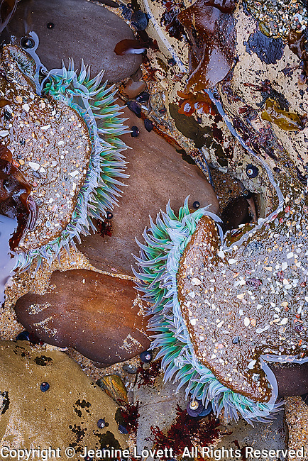 yin yang sea anemone at extreme low tide in Santa Cruz, California.