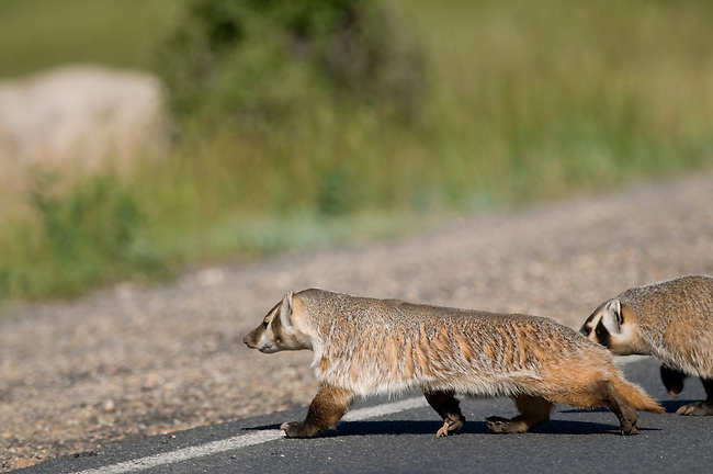 badger, (Taxidea taxus), pair of badgers crossing road, summer, Rocky Mountain National Park, Colorado, USA, wildlife, carnivore